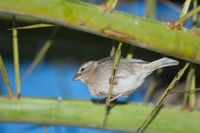 Female Spanish sparrow Passer hispaniolensis on a Canary Island date palm Phoenix canariensis.
