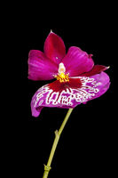 Blossom of Orchid plant with stem on black dry