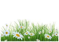 Gras mit Gänseblümchenblumen auf weißem Hintergrund