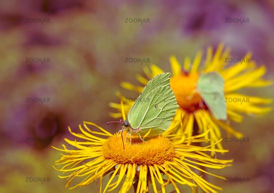 Yellow Brimstone Butterfly