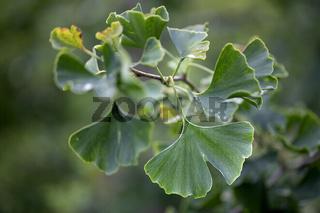 Frische Gingko Blätter im Sommer, Nahaufnahme