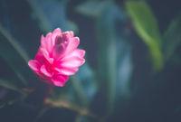 Hawaiian Pink Ginger Flower