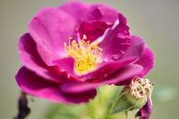 beautiful rosehip or dog rose flower at garden
