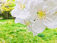 Blooming apple tree flowers in spring garden as beautiful nature landscape, plantation and agriculture