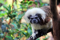 Closeup of the face of a cotton top tamarin monkey