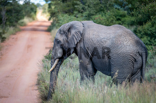 African Elephant standing on the side of the road.