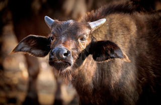Junger Afrikanischer Büffel, Syncerus caffer, im Kruger Nationalpark, Südafrika, South Africa, African buffalo