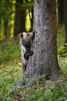 Funny brown bear hiding behind a big tree in forest in springtime.
