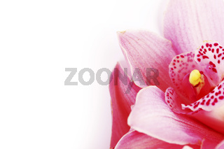 orchid isolated orchid isolated