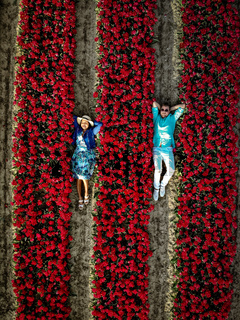Drone aerial view from above at couple men and woman in tulip field, Noordoostpolder Netherlands, Bulb region Holland in full bloom during Spring, colorful tulip fields