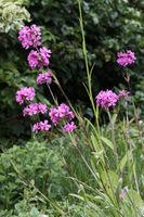Gewöhnliche Pechnelke (Silene viscaria) , Blütenstand mit rosa Blüten