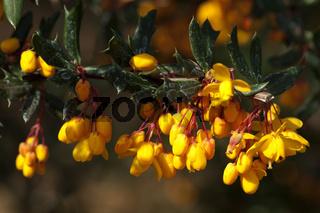 Berberitze, Schmalblaettrige, Berberis, linearifolia,