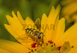 Gemeine Feldschwebfliege 'Eupeodes corollae'
