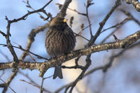 Asian Rosy-finch that sits on branches in a tree crown in winter