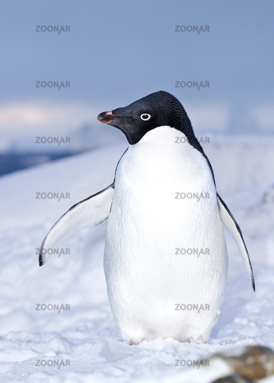 Adelie penguin who stands in the snow on the shore