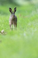 Ein maennlicher Feldhase, auch Rammler genannt, verfolgt die Duftspur einer Haesin