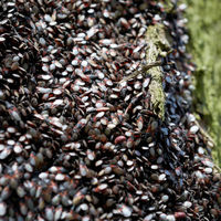 Invasion von Lindenwanzen (Oxycarenus lavaterae) an einemr Linde