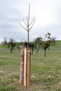 Wildschutz und Verbissschutz für Obstbaum durch Wildschutzzaun
