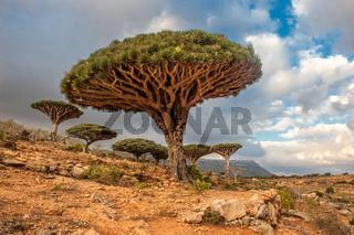 Dragon trees at Dixam plateau, Socotra Island, Yemen