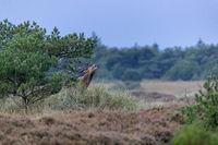 Ein roehrender Rothirsch in einer Heidelandschaft