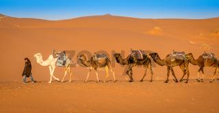 Berber and camel caravan in the Sahara desert, Merzouga, Morocco