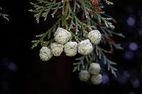 Nahaufnahme der erbsengroßen Zapfen einer Lawson-Zypresse