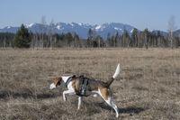 Beagle im Ellbacher Moor