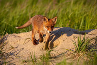 Little red fox walking down the hill in sunny spring nature with copy space.