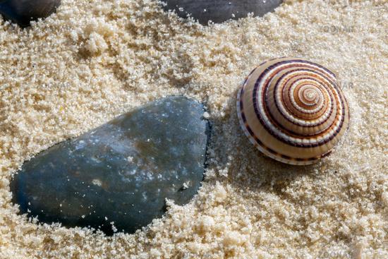 Small Sundial Seashell