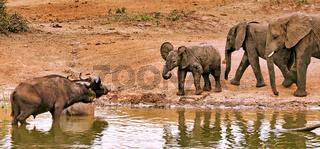 Elefanten und Büffel im Queen Elizabeth Nationalpark, Kazinga-Kanal, Uganda | Elephants and buffalos, Queen Elizabeth National Park, Kazinga Channel, Uganda