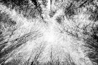 Kahle Baumwipfel von unten im Winter, Dreifachbelichtung, schwarzweiß