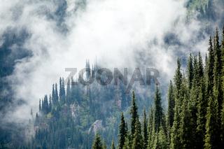 Fir trees covered in fog