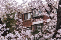 building amongst cherry blossom