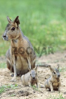 Weiblicher Grosser Mara mit Jungtieren nahe der Hoehle - (Grosser Mara - Pampashase) / Female Patagonian Mara with youngs near the burrow - (Patagonian Hare - Dillaby) / Dolichotis patagonum
