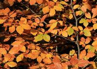 Golden beech leaves.