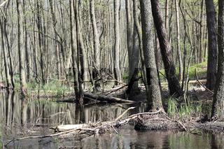 Erlenbruchwald und Spiegelung im Briesetal im Vorfrühling