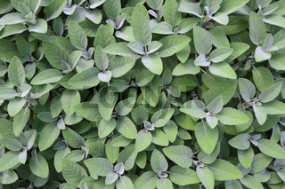 Echter Salbei (Salvia officinalis), Europa