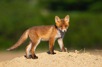 Juvenile red fox standing standing on sand in the summer.