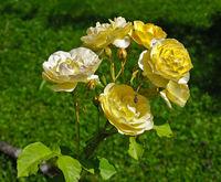 Gelbe Edelrose,