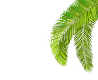Palm tree leaf branch