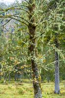 Flechtenbehangener Baum im Nationalpark Berchtesgarden, Deutschland