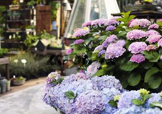 Blooming Hortensia in flower shop
