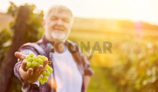 Weinbauer hält weiße Weintraube als Auslese