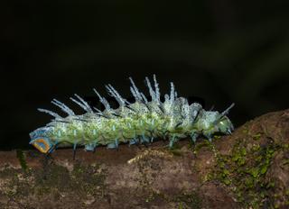 Atlas Moth Caterpillar, Goa, India