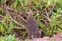 bird Chestnut-naped Francolin Ethiopia wildlife