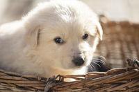 Cute fluffy little white puppy in a wicker basket.