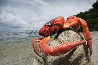 Weihnachtsinsel-Krabbe am Strand, Weihnachstinsel