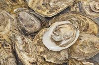 Austern frisch vom Erzeuger