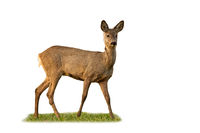 Roe deer doe standing in grass isolated on white background.
