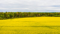 Yellow rapeseed field. Spring agricultural landscape. Yellow field of rape crops.